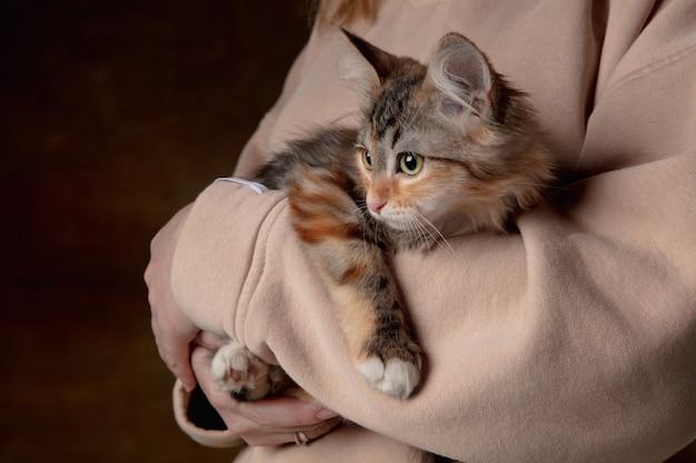 Zbliżenie ludzkich rąk z małym pięknym rasowym kotkiem.