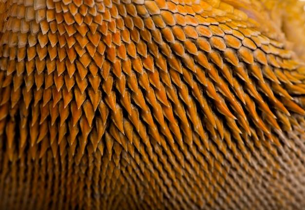 Zbliżenie łuski smoka lawsona, pogona henrylawsoni