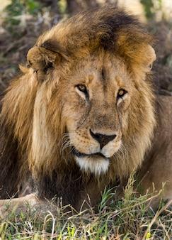Zbliżenie lwa, serengeti, tanzania, afryka
