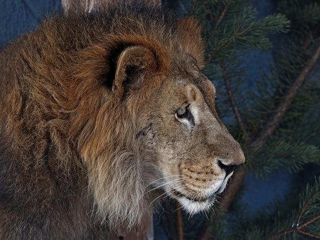 Zbliżenie lwa