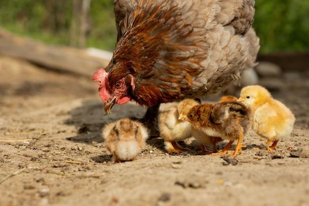 Zbliżenie macierzysty kurczak z swój dzieci kurczątkami na gospodarstwie rolnym. kura z kurczętami