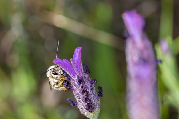 Zbliżenie makro ostrości strzał pszczoły na kwiat