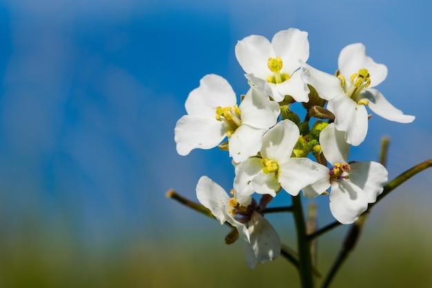 Zbliżenie makro rośliny white wall rocket z kwitnącymi kwiatami na malcie