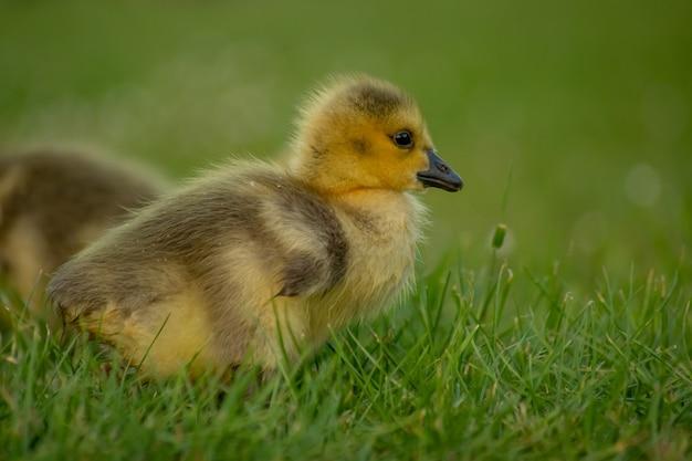 Zbliżenie małego uroczego puszystego żółtego kaczątka na trawiastym polu