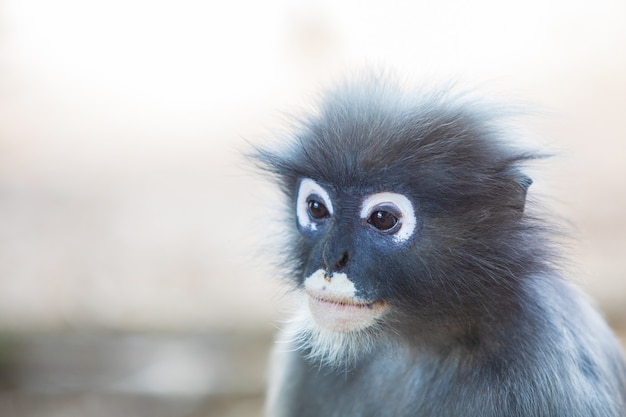 Zbliżenie małpa dusky langur