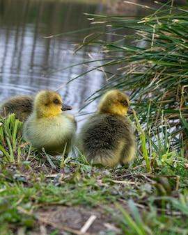 Zbliżenie małych kaczek na brzegu rzeki