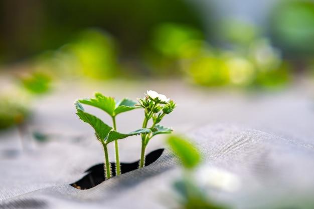 Zbliżenie małych zielonych roślin truskawek o białych kwiatach rosnących na zewnątrz w letnim ogrodzie.