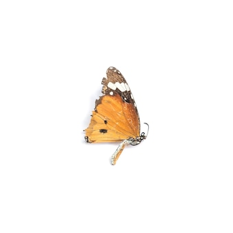 Zbliżenie martwy motyl na białym tle