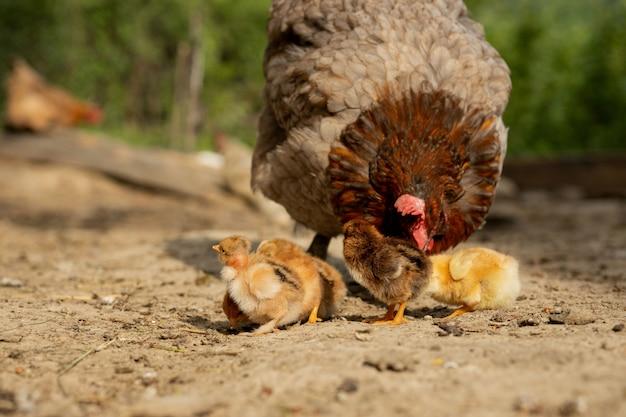 Zbliżenie matki kurczaka z jego piskląt w gospodarstwie. kura z kurczakami.