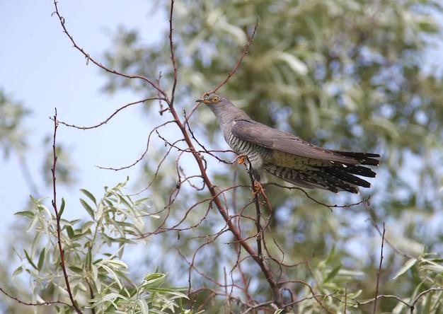 Zbliżenie męskiej kukułki siedzącej na gałęzi