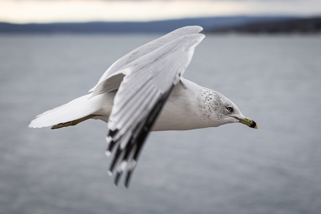 Zbliżenie mewy lecącej nad morzem z rozmytym tłem