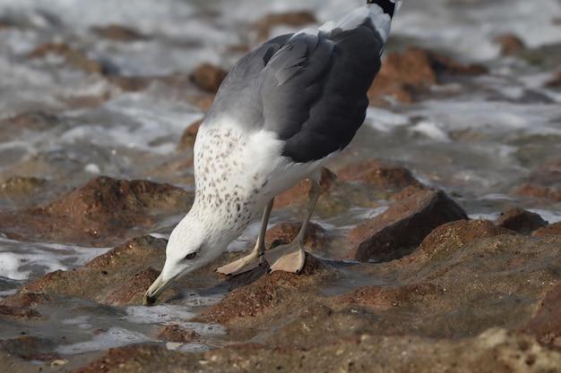 Zbliżenie mewy srebrzystej na brzegu w ciągu dnia