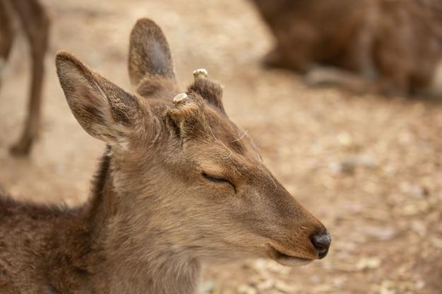 Zbliżenie młodego jelenia z ciętym porożem