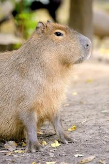 Zbliżenie młodej kapibary