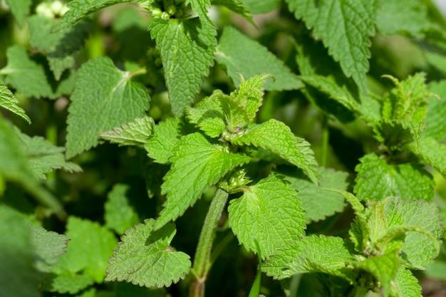 Zbliżenie młodej zielonej pokrzywy, niewielkiej głębi ostrości
