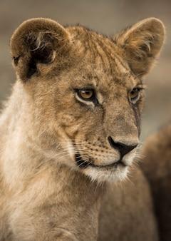 Zbliżenie: młody lew, serengeti, tanzania, afryka