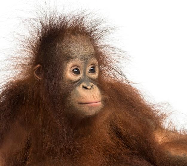 Zbliżenie: młody orangutan borneański, odwracając wzrok, pongo pygmaeus, 18 miesięcy, na białym tle