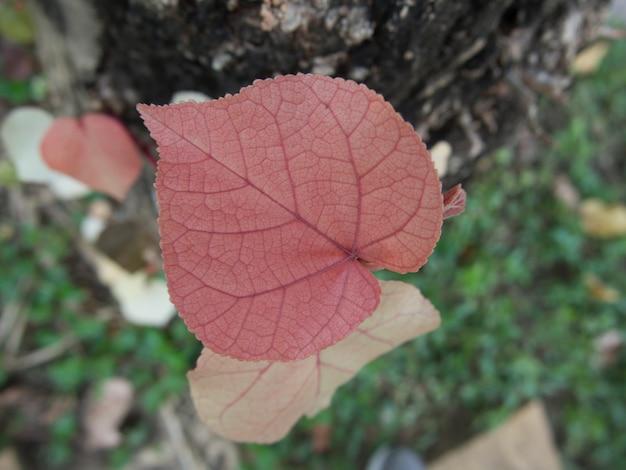 Zbliżenie młodych czerwonych liści tekstury drzew na tle przyrody