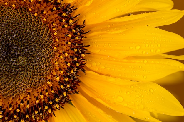 Zbliżenie mokrego słonecznika z kroplami rosy na żółtym tle
