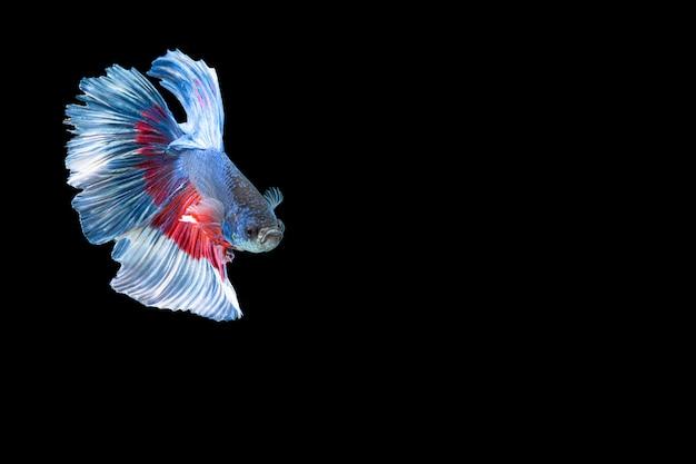 Zbliżenie moment ryby betta półksiężyc niebieskie czerwone paski