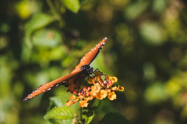 Zbliżenie monarcha motyl
