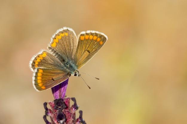 Zbliżenie motyla aricia cramera siedzącego na kwiatku w ogrodzie sfotografowanym w ciągu dnia