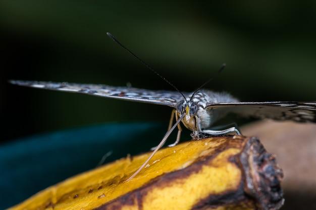 Zbliżenie motyla jedzącego banana