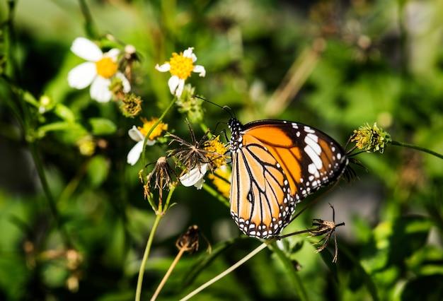 Zbliżenie motyla monarchy