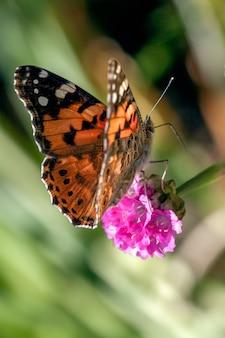 Zbliżenie motyla painted lady (vanessa cardui) karmiącego kwiat sea pink
