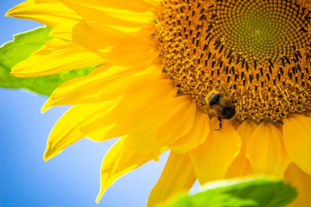 Zbliżenie muchy na słoneczniku na tle błękitnego nieba
