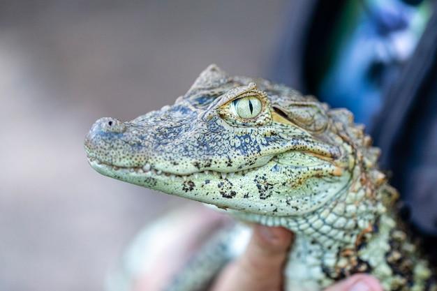 Zbliżenie na aligatora żółtego plonu (caiman latirostris)