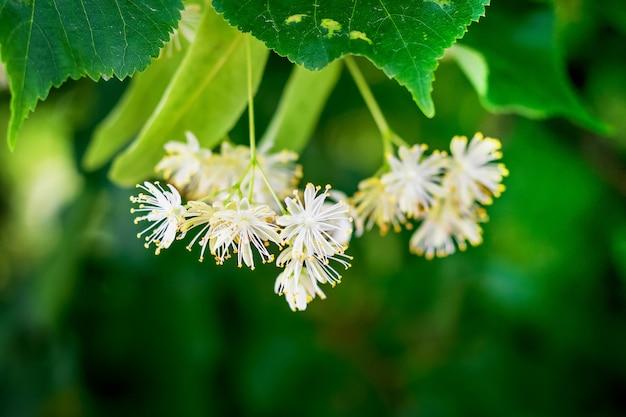 Zbliżenie na białe kwiaty lipy na drzewie