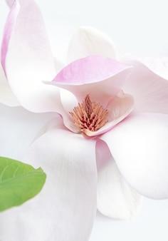 Zbliżenie na biały i różowy kwiat magnolii na białym tle
