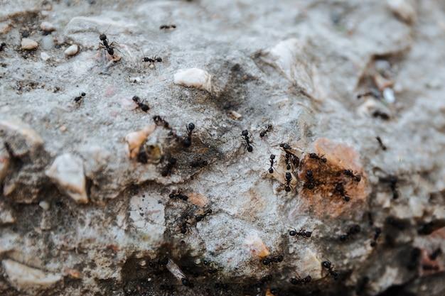 Zbliżenie na czarne mrówki pełzające po kamieniu