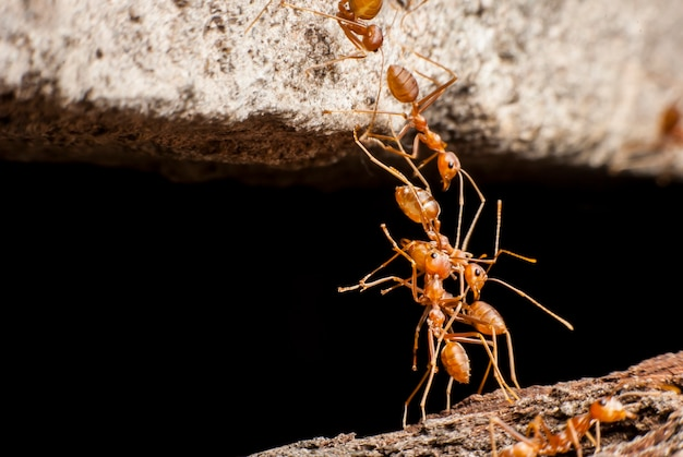Zbliżenie na czerwone mrówki tworzące most