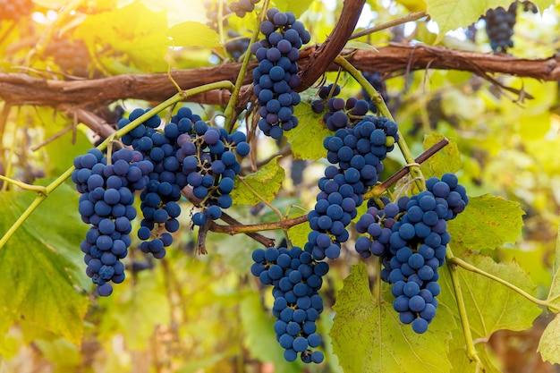 Zbliżenie na czerwone winogrona wiszące na winorośli w popołudniowym słońcu