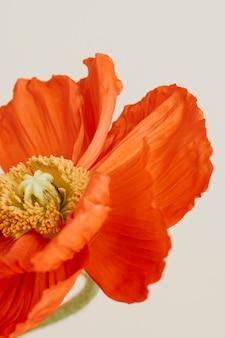 Zbliżenie na czerwony kwiat maku na beżowym tle