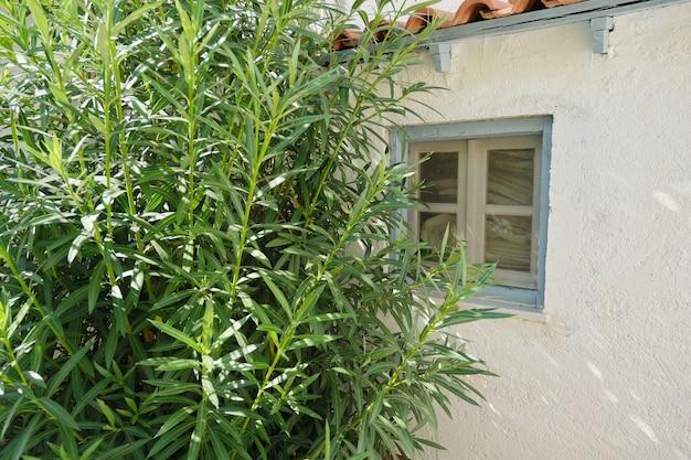 Zbliżenie na część domku ogrodowego z małym niebieskim oknem i dużym zielonym krzakiem oleandry