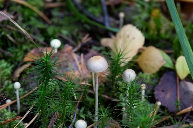 Zbliżenie na dużą liczbę białych grzybów lub mycenaceae, które są rodziną grzybów z rzędu agaricales
