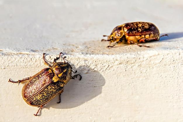 Zbliżenie na dwa duże robaki majowe