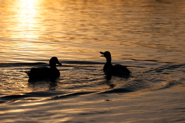 Zbliżenie na dzikie kaczki