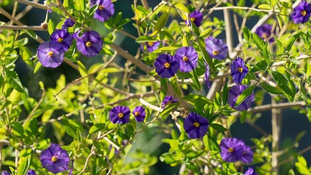 Zbliżenie na fioletowe kwiaty solanum rantonnetii, cypr.