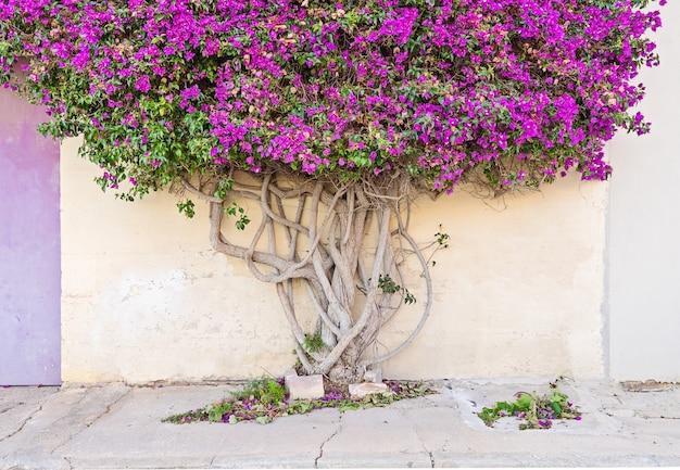 Zbliżenie na gałęzistym drzewie paperflower bagażniku