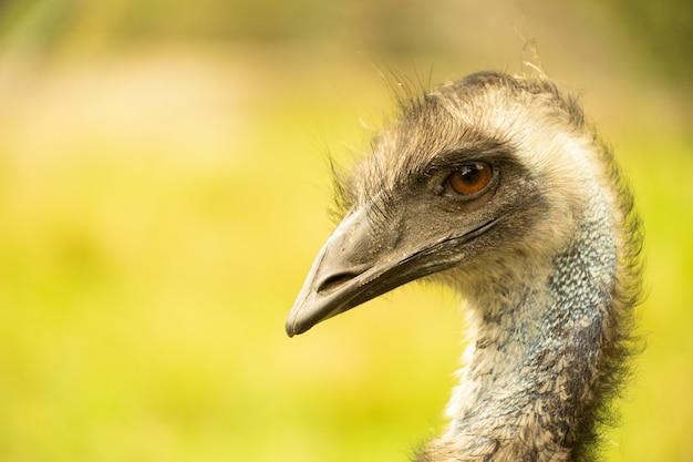 Zbliżenie na głowę i szyję emu