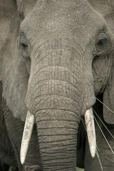 Zbliżenie na głowę słonia
