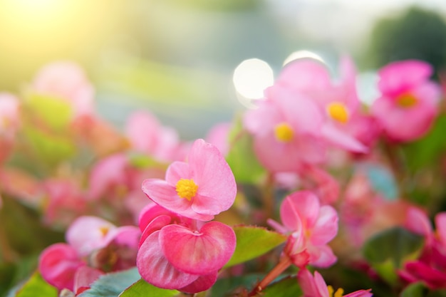 Zbliżenie na jasne różowe kwiaty begonii podczas wschodu słońca. kompozycja abstrakcyjna. środowisko. inspirowane naturą. ogrodnictwo domowe