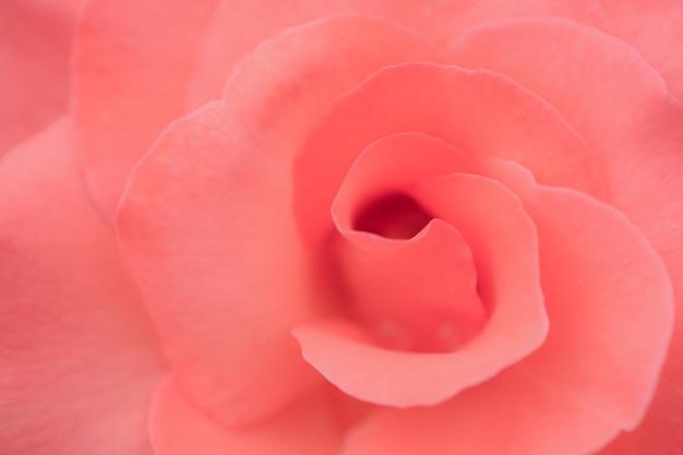 Zbliżenie na jasnoróżową różę