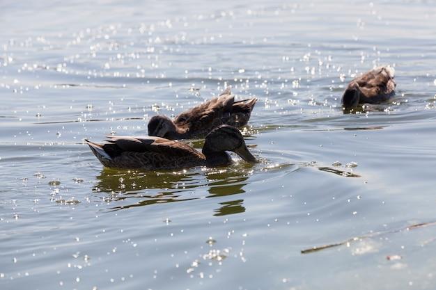 Zbliżenie na kaczki dzikiego ptactwa