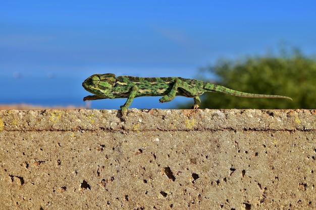Zbliżenie na kameleona śródziemnomorskiego utrzymującego równowagę, gdy stąpa na palcach na cienkiej ścianie z cegły brick