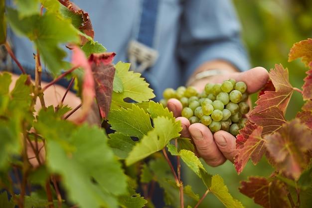 Zbliżenie na kiść winogron trzymaną ręką kombajnu